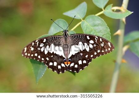Common Lime Butterfly in Garden  - stock photo