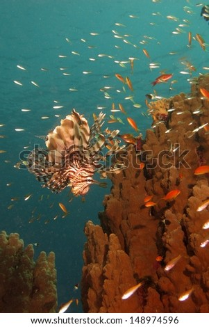 Common lionfish (Pterois miles) hunting near to the fire coral with school of little fishes around, Red sea, Egypt