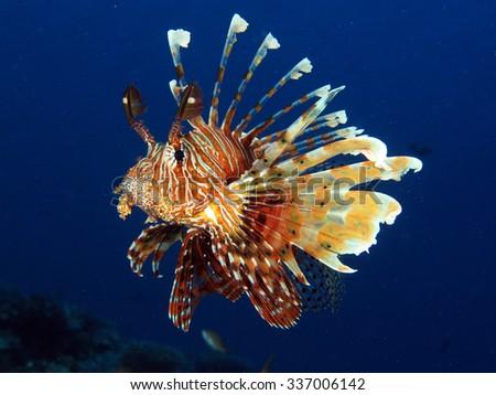 Common lionfish (Pterois miles) portrait - stock photo