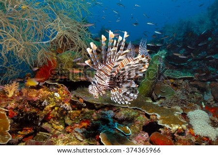 Common Lionfish (Pterois volitans) over a coral reef