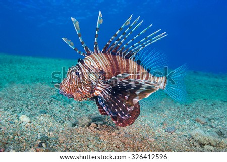 Common Lionfish (Pterois volitans) Underwater photo. - stock photo