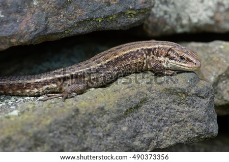Common Lizard basking on lichen covered stone wall/Common Lizard/Viviparous Lizard (Zootoca Vivipara)