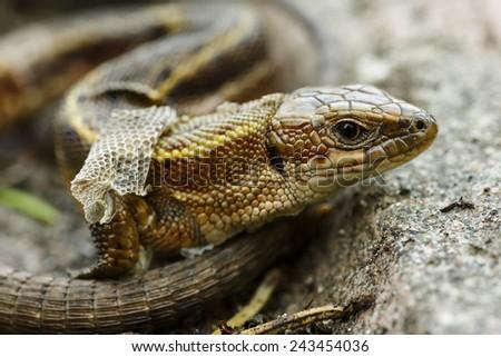 Common lizard close up/ Common lizard - stock photo