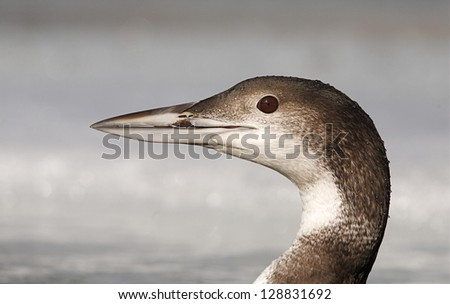 Common Loon, Great Northern Diver, gavia immer, in winter plumage, Columbia River, Washington state.  close up detailed head portrait Pacific Northwest Nature bird and wildlife photography - stock photo