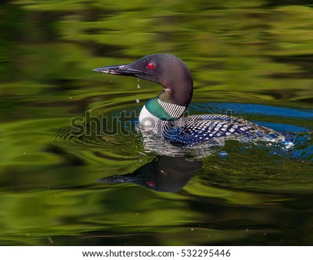 Common Loon in breeding plumage with water drip from beak on a north woods lake in Wisconsin.