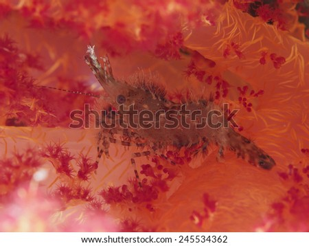 Common Marble Shrimp in red sea - stock photo