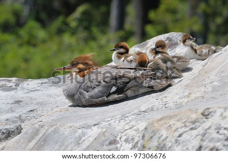 Common Merganser with young chicks at Grand Tetons National Park in Wyoming - stock photo