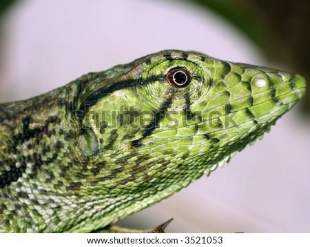 Common monkey lizard Polychrus marmoratus - stock photo
