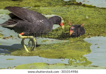 Common moorhen (Gallinula chloropus) feeding a chick, Brazos Bend state park, Needville, Texas, USA. - stock photo