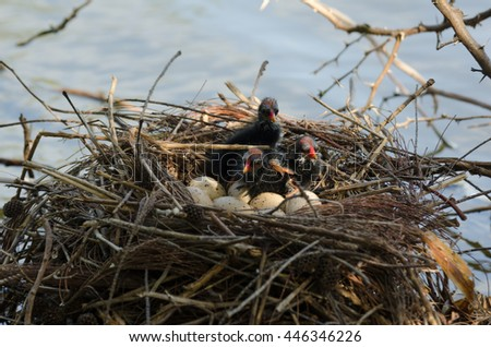 Common Moorhen (Gallinula chloropus) nest with eggs and chicks