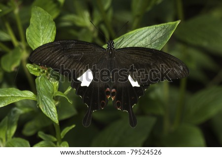 Common Mormon Butterfly - stock photo