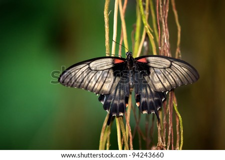 Common Mormon Butterfly