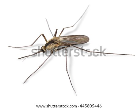 Common mosquito insect close-up macro isolated on white - stock photo