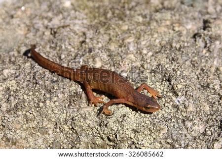 common newt, Lissotriton vulgaris - stock photo