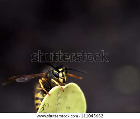 Common North America Wasp. Yellow Jacket or Vespula - stock photo