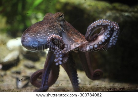Common octopus (Octopus vulgaris). Wildlife animal.  - stock photo