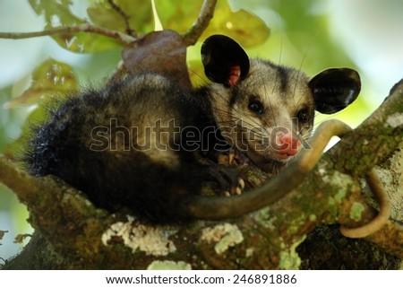 Common Opossum - stock photo