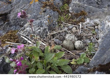 Common oystercatcher (Haematopus ostralegus) nest of pebbles and straw at rocks at Norwegian coast, Europe.  - stock photo