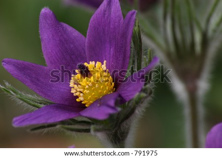 common pasque flower (pulsatilla vulgaris), one of the earliest flowers in spring
