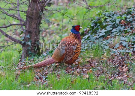 Common Pheasant in detail - stock photo