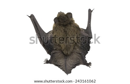 Common Pipistrelle bat on white, top view - stock photo