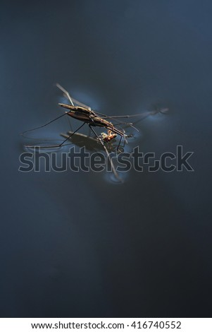 Common Pond Skater - stock photo