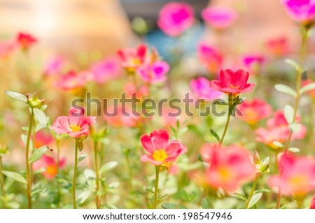 Common Purslane or Verdolaga or Pigweed or Little Hogweed or Pusley flower in the garden - stock photo