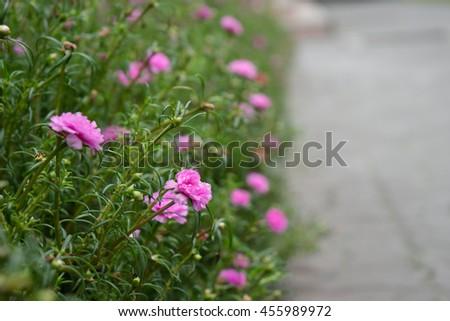 Common Purslane, Verdolaga, Pigweed, Little Hogweed or Pusley flower, pink flower wiith blurred lights and bokeh - stock photo