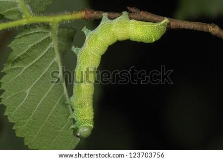 Common Quaker caterpillar (Orthosia cerasi) in ancient woodland, Wales,UK - stock photo