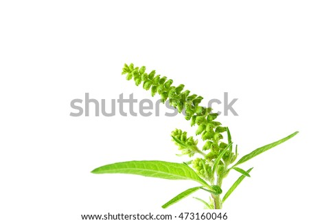 Common ragweed on white background