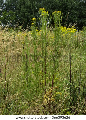Common Ragwort (Jacobaea vulgaris) with Cinnabar moth  caterpillars