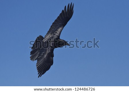 Common Raven flying across the sky. - stock photo