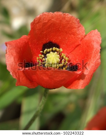 Common Red Poppy Flower Head - stock photo