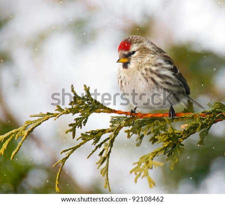 Common Redpoll bird, female, perched on a branch in the winter with falling snow.