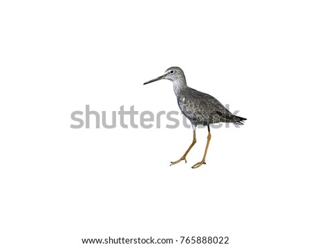 Common Redshank on White Background, Isolated