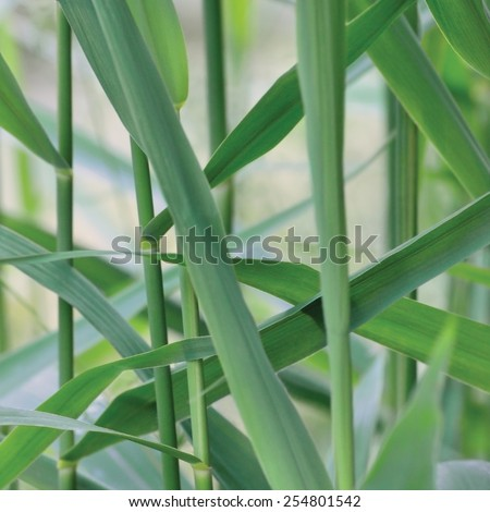 Common Reed Phragmites Leaf, Australis Cav. P. Communis Trin. ex Steud. Japonicus Leaves, Grass-like Plants, Large Detailed Macro Closeup, Gentle Bokeh - stock photo
