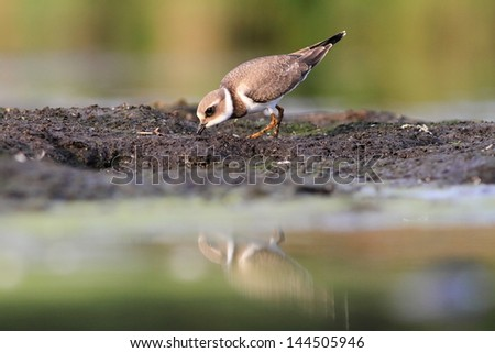 Common ringed plover Charadrius hiaticula - stock photo