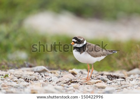 Common Ringed Plover looking for food in the tundra/Common Ringed Plover - stock photo