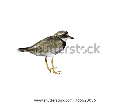 Common Ringed Plover on White Background, Isolated