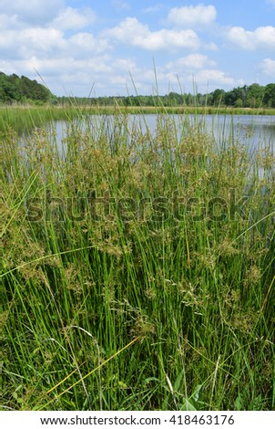 Common rush in Mississippi - stock photo