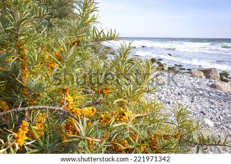 Common sea-buckthorn in autumn, typical for this plant is a high content of vitamin C. In background is seen the Baltic Sea. - stock photo