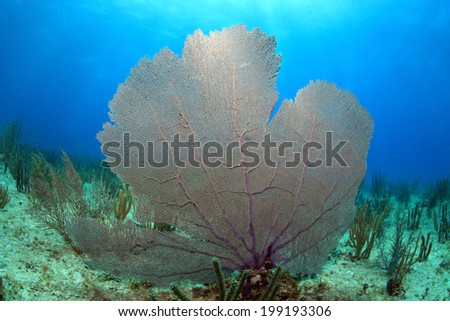 Common sea fan coral in the tropical reef of the caribbean  - stock photo