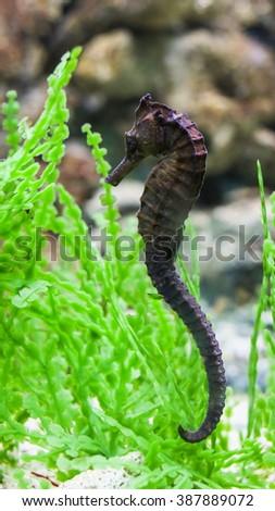 Common Seahorse. - stock photo