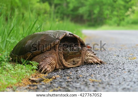 Common snapping turtle on the side of the road