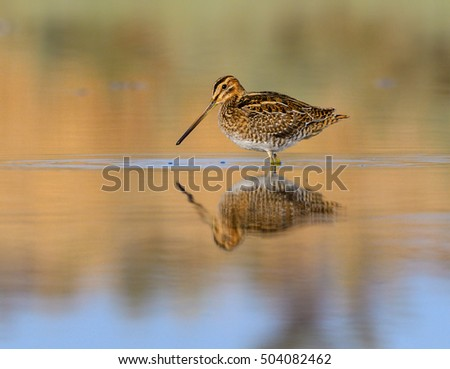 Common Snipe with Reflection in Early Morning Light