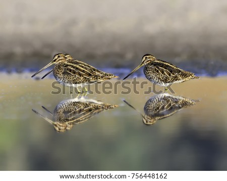 Common Snipes with Reflections Foraging
