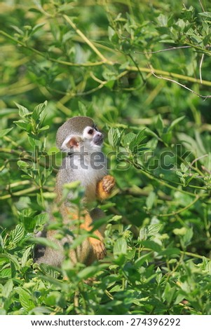 Common squirrel monkey between leafs - stock photo