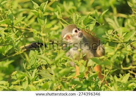 Common squirrel monkey in jungle - stock photo