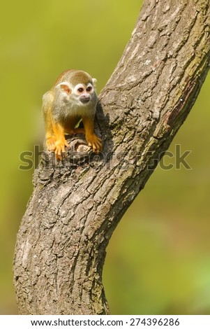 Common squirrel monkey on the tree - stock photo