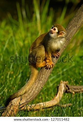Common Squirrel Monkey (Saimiri sciureus) - stock photo